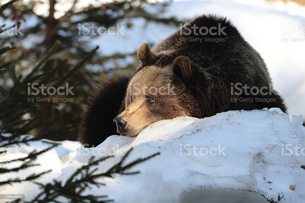 Large female of wild brown bear on snow stock photo