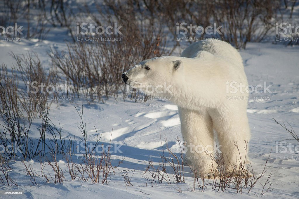 Large female polar bear stock photo