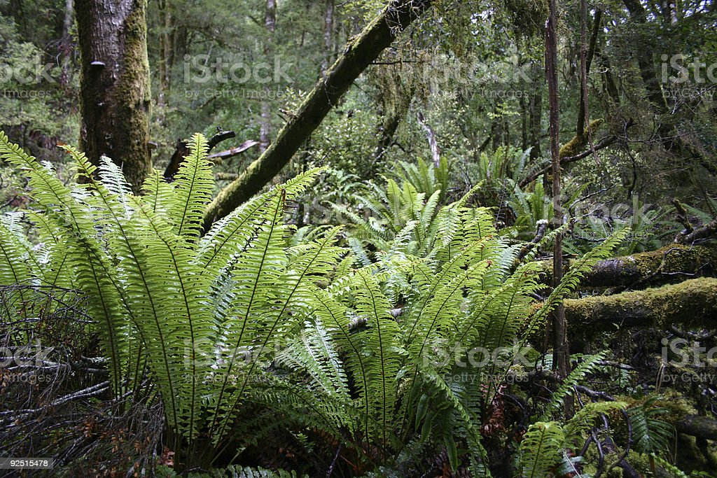 large ferns growing in rain forest Hawaii big island royalty-free stock photo