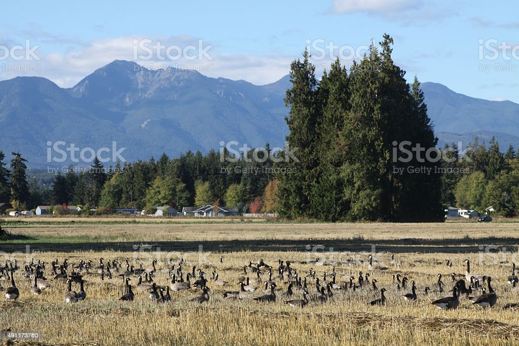 Large Field Full Of Canadian Geese stock photo