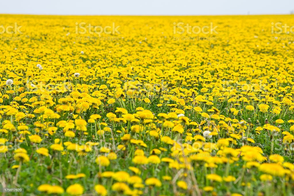 A large field full of vibrant, yellow dandelions.  stock photo