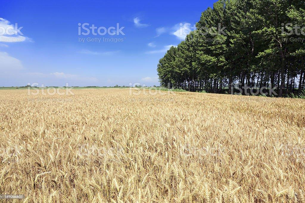 Large field of ripe wheat royalty-free stock photo