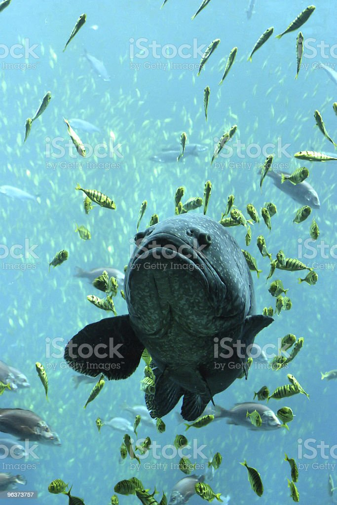 Large Fish and Friends royalty-free stock photo