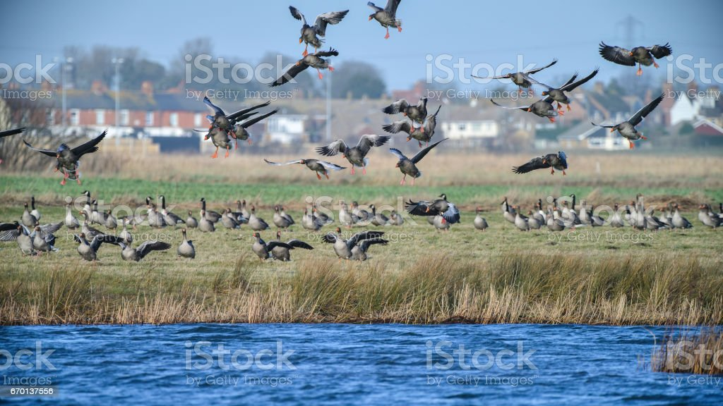 Large flock of greylag goose in clear Winter sky stock photo