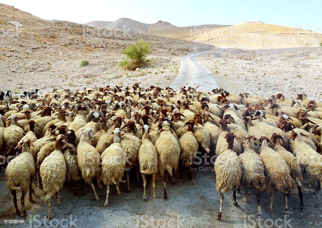 Large flock of sheep walking through the wilderness stock photo