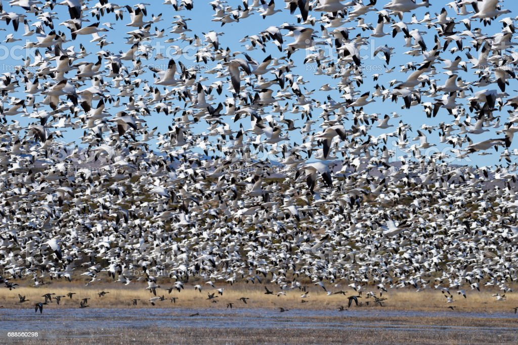 Large Flock of Snow Geese Taking Off from Pond stock photo