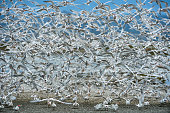 Large Flock of Tern Birds Flying En Masse From Feeding