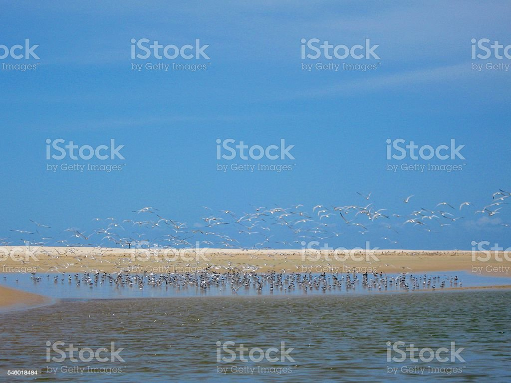 Large Flock of Terns, Flying stock photo