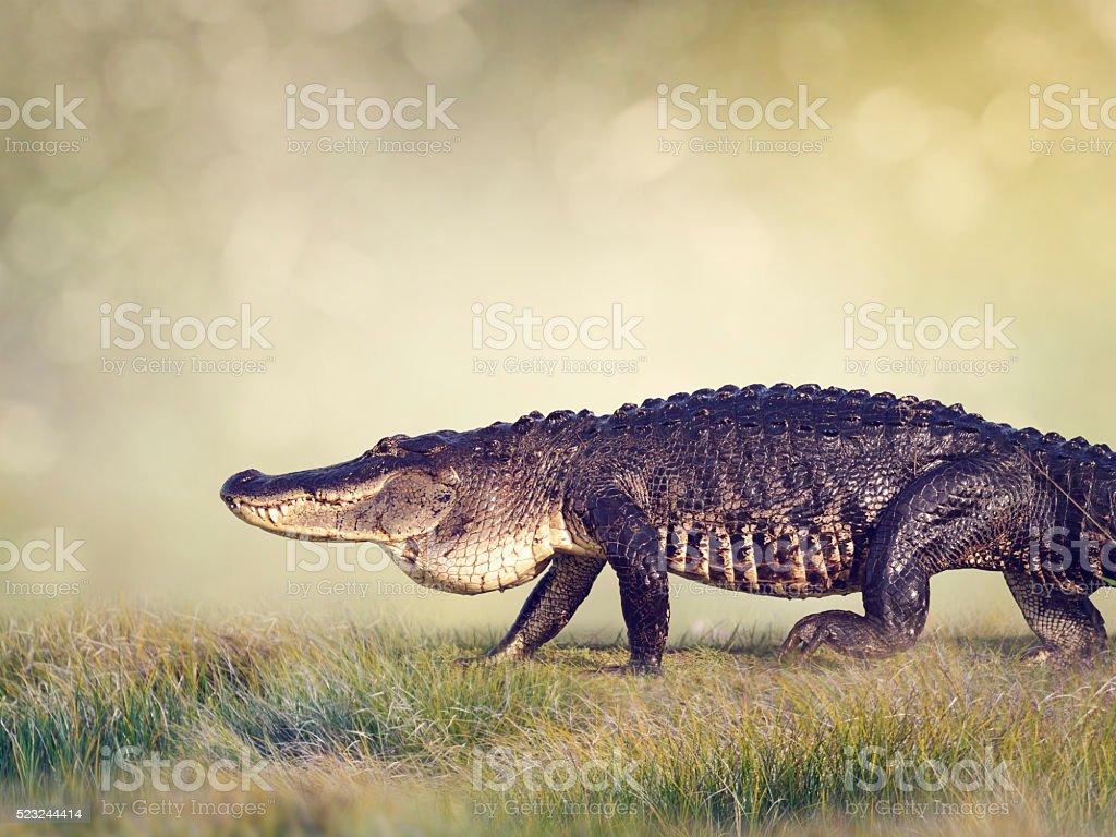 Large Florida Alligator stock photo