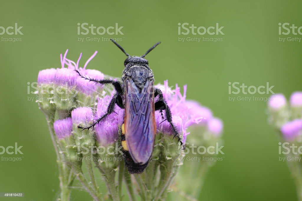 Grand Abeille sur purple ironweed Floride photo libre de droits