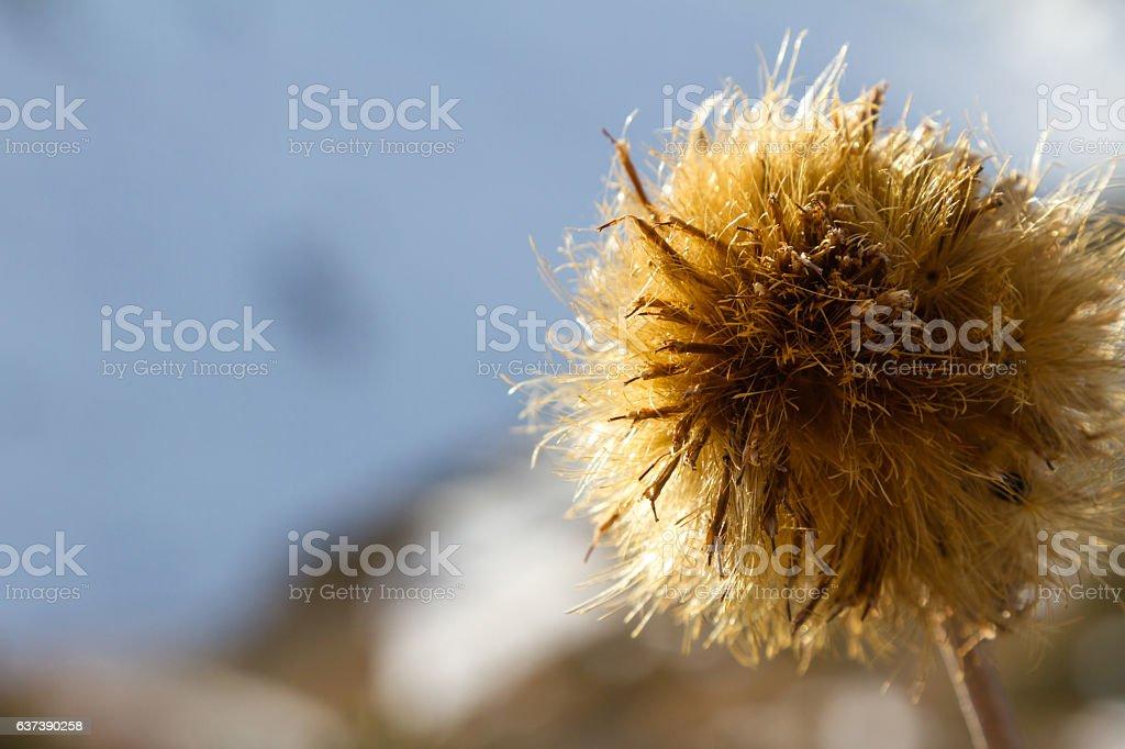 large flower dry thistles stock photo