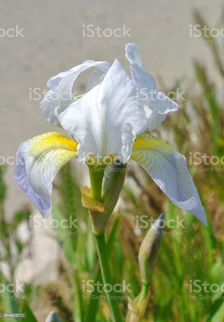Large flower garden iris plants stock photo
