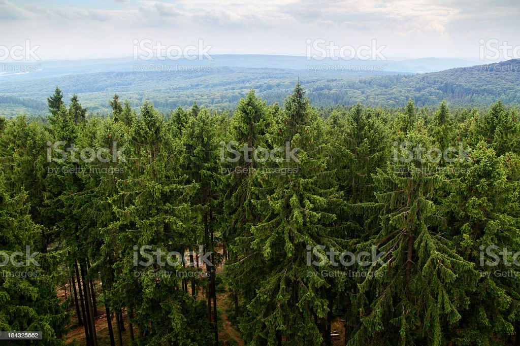 Large forest filled with green fir trees stock photo