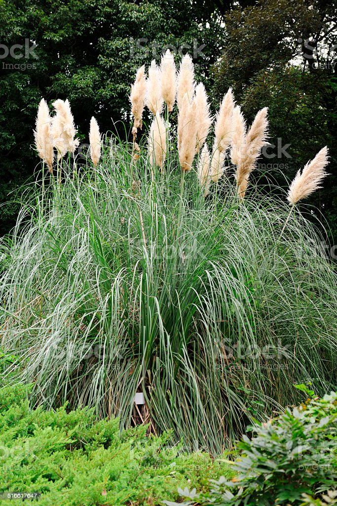Large Foxtail stock photo