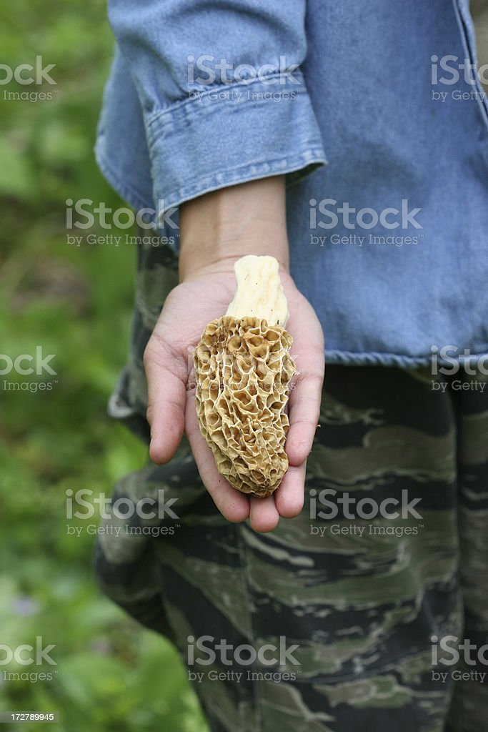 Large freshly picked Morel Mushrooms stock photo