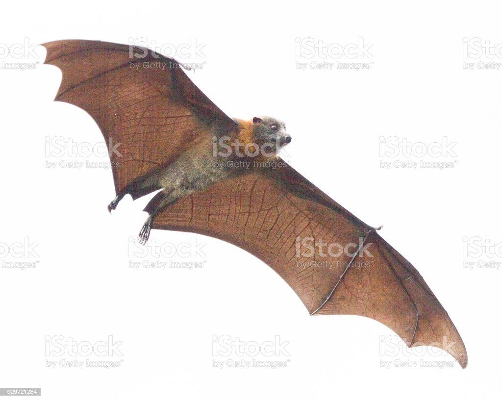 Large Fruit Bat stock photo
