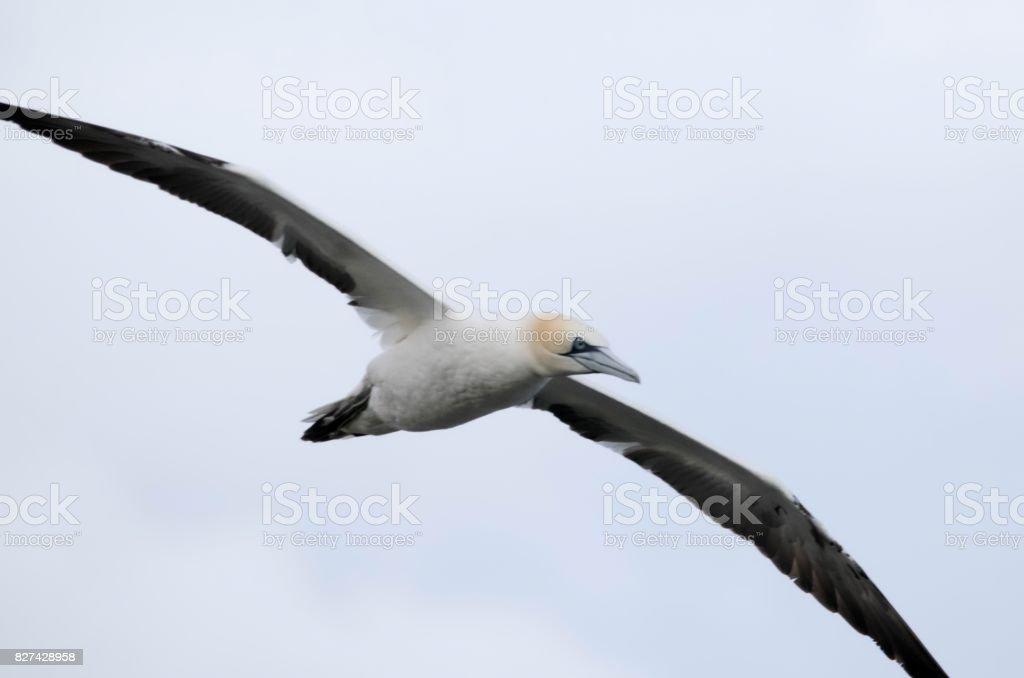 large gannet bird in flight flying beautiful bempton cliffs