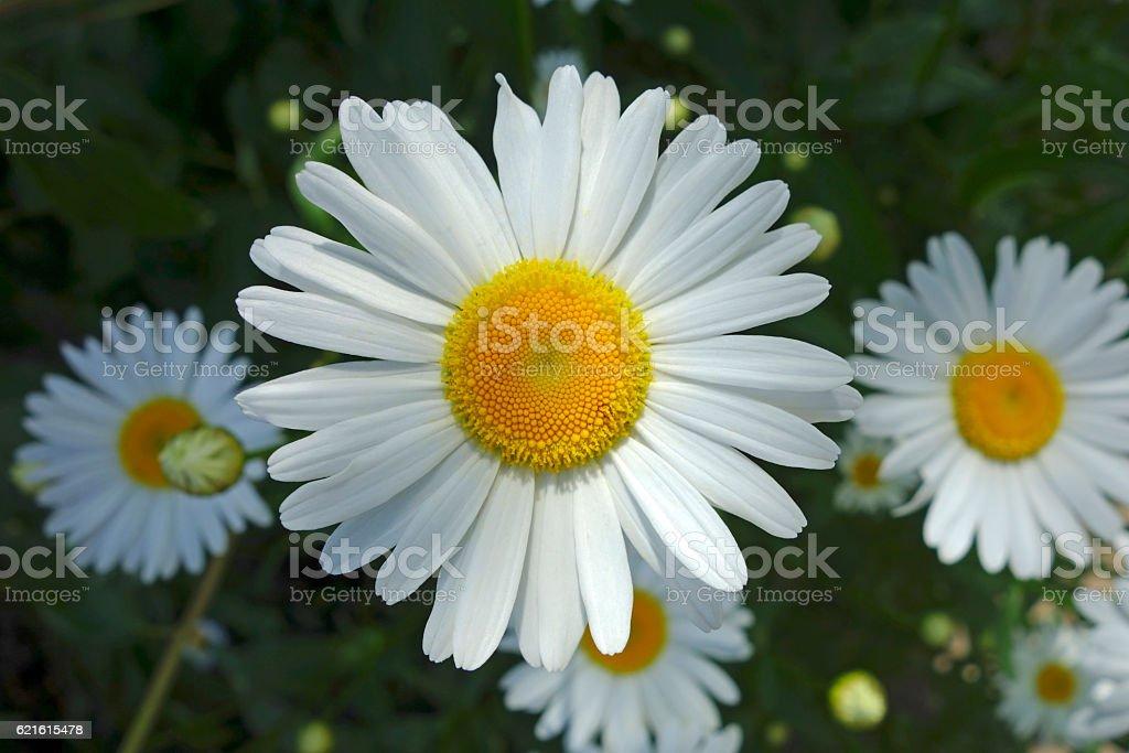 Large garden daisy stock photo