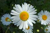 Large garden daisy