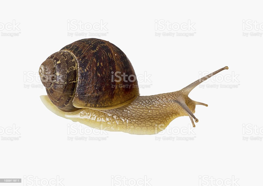 Large garden snail, isolated over white background royalty-free stock photo