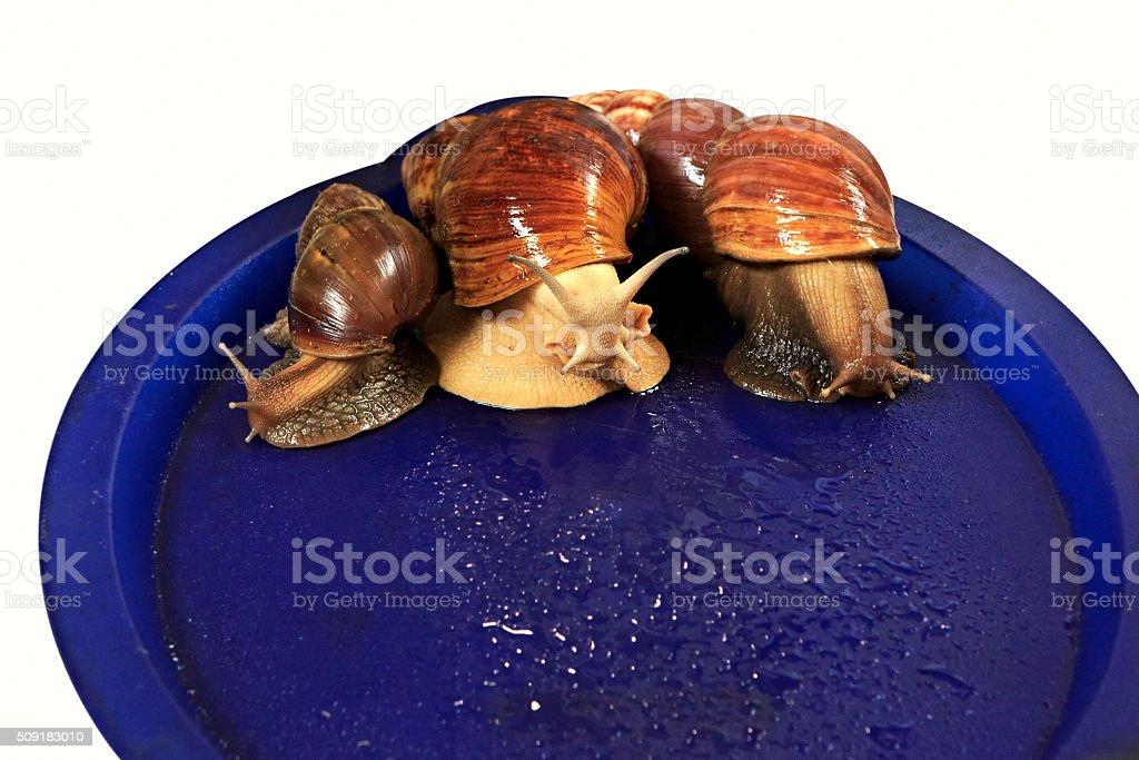 Large grape snail on blue tray stock photo