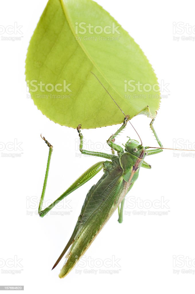 Large Grasshopper or Locust Eating A Leaf Isolated on White royalty-free stock photo