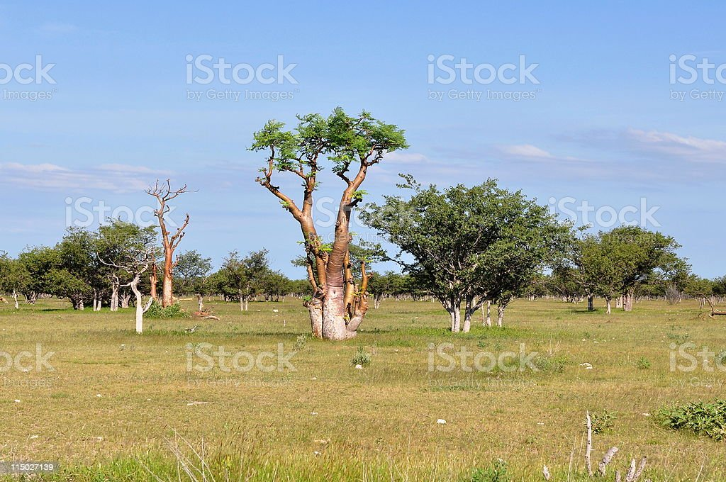A large grassy field with unusual looking moringa trees royalty-free stock photo