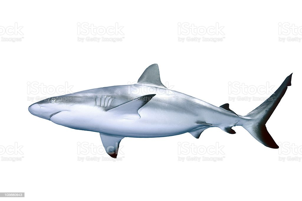 Large gray shark isolated on white background stock photo