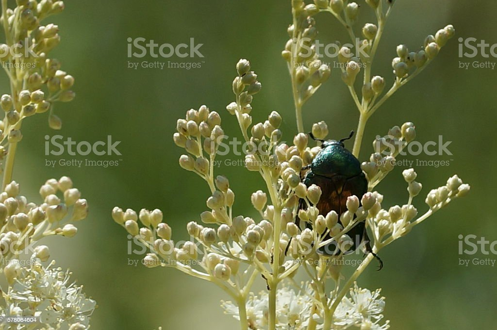 large green beetle on flowers stock photo