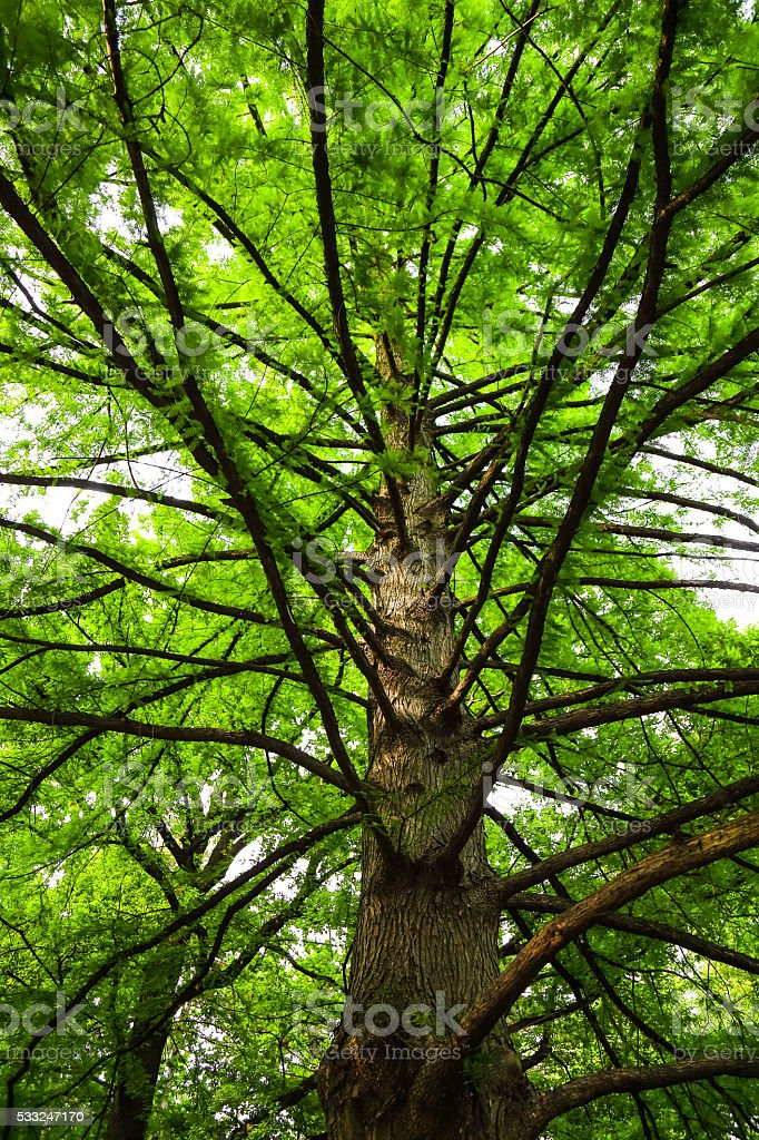 Large green canophy of cypress tree, low angle view stock photo