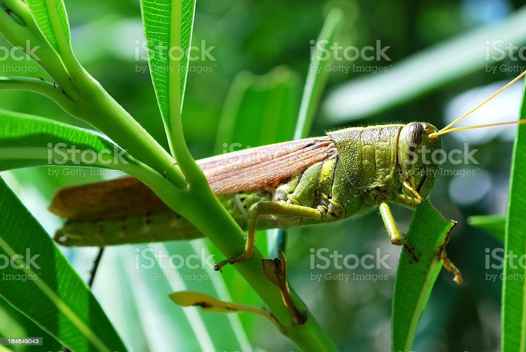 Large Green Grasshopper in Eating Oleander Leaves royalty-free stock photo