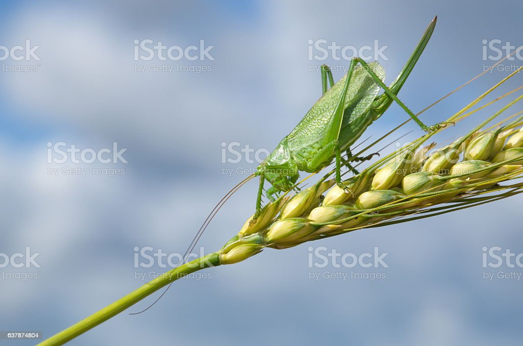 Large green grasshopper stock photo