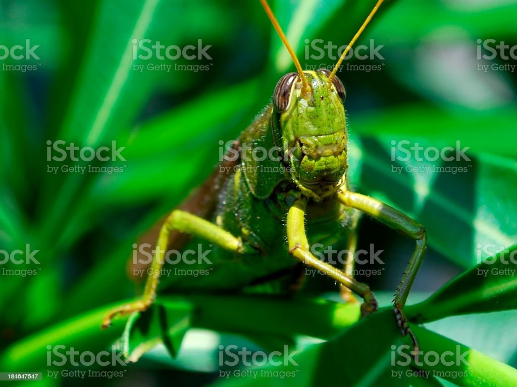 Large Green Grasshopper Sitting in Oleander Leaves royalty-free stock photo