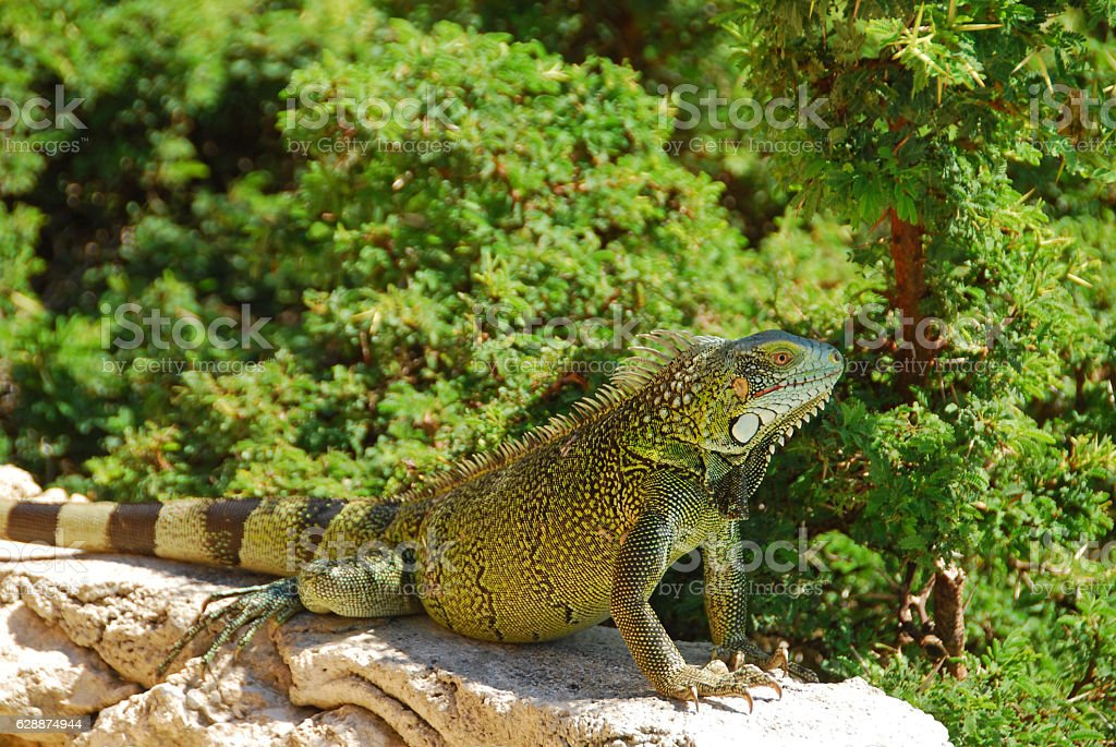 Large  Green Iguana infront of the Outback. stock photo