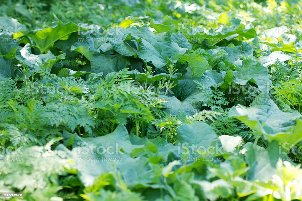 large green leaves of burdock stock photo