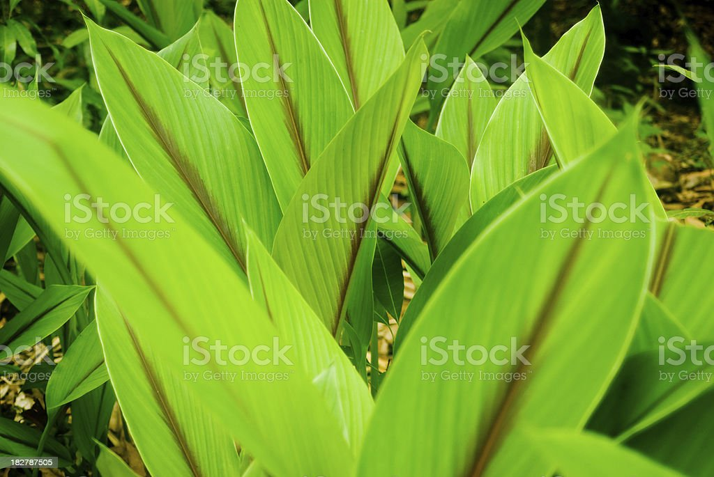 large green leaves of plant royalty-free stock photo