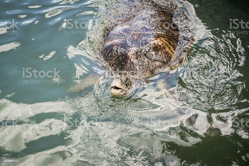Large Green Sea Turtle Swimming royalty-free stock photo