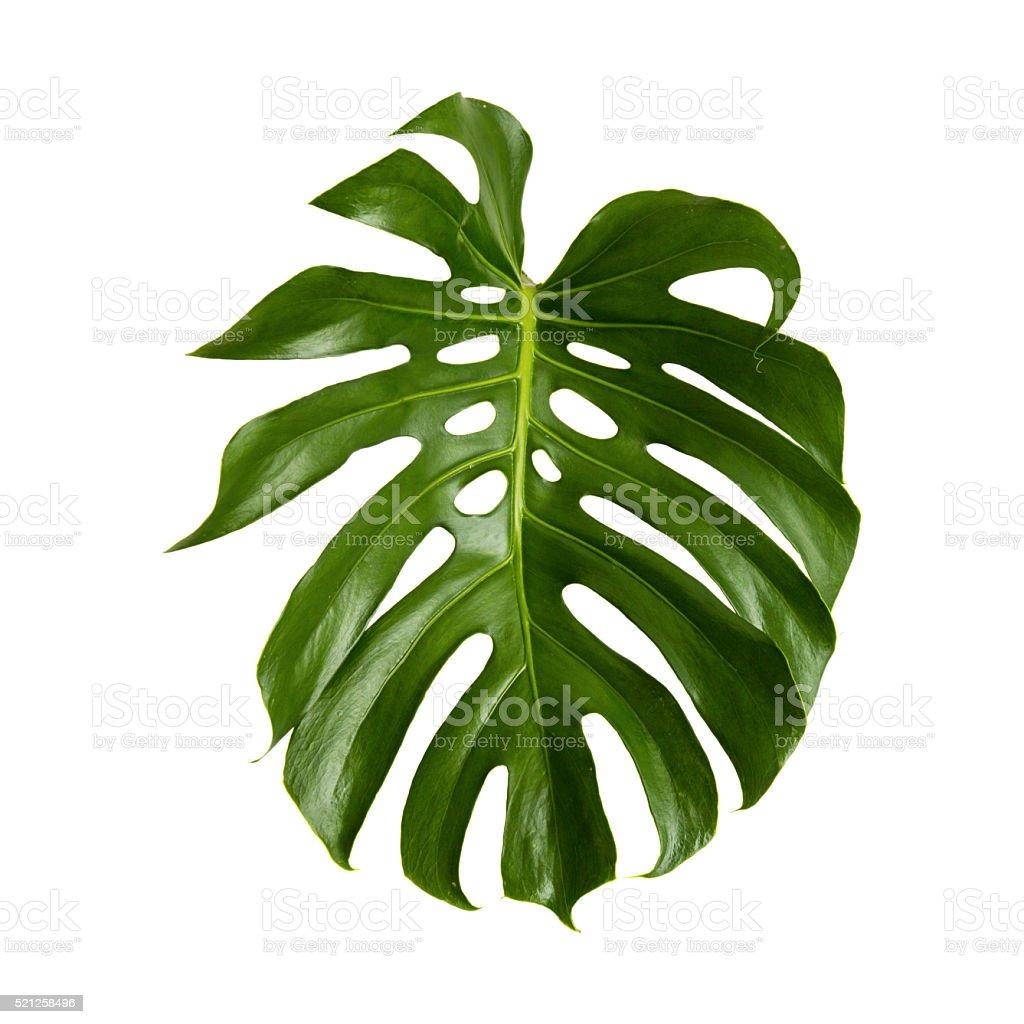 Large Green Shiny Leaf Of Monstera Stock Photo 521258496