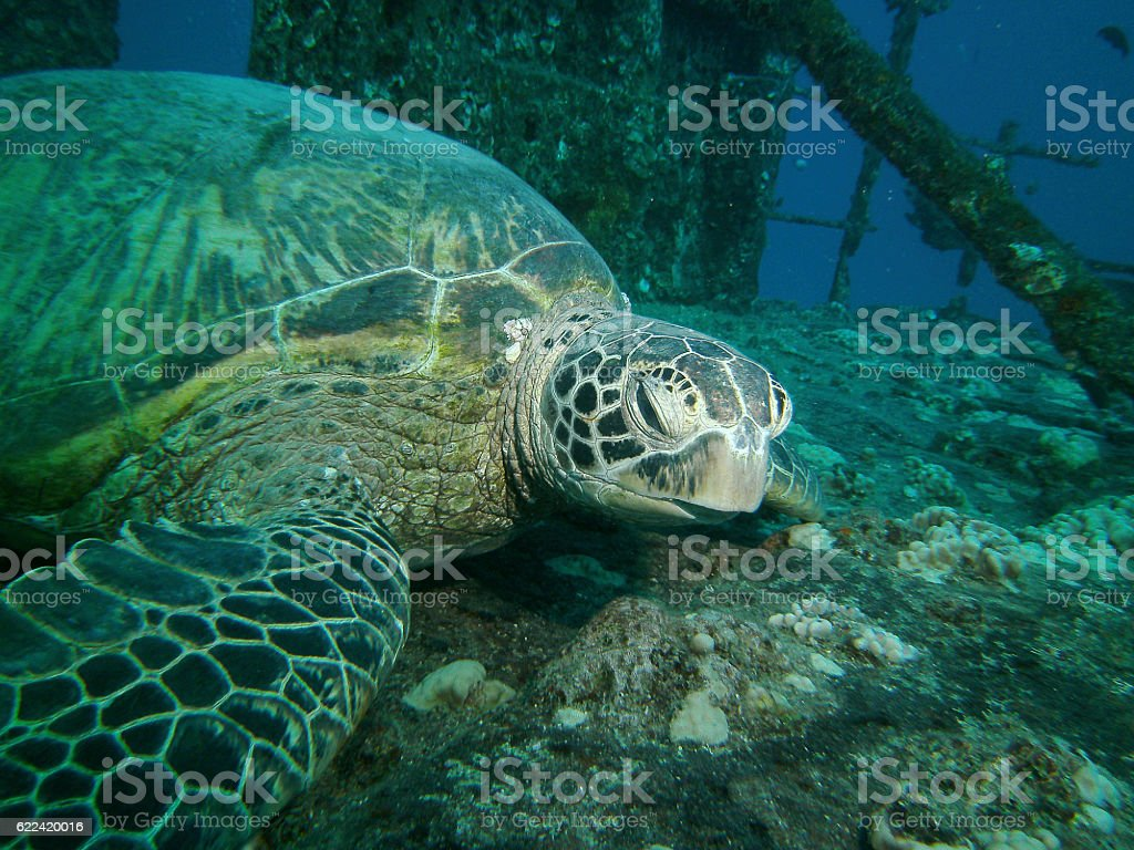 Large green turtle resting on a ship wreck, Oahu, USA stock photo