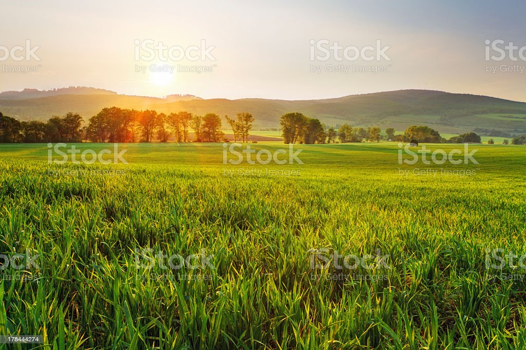 Large green wheat field with rolling hills during sunset stock photo