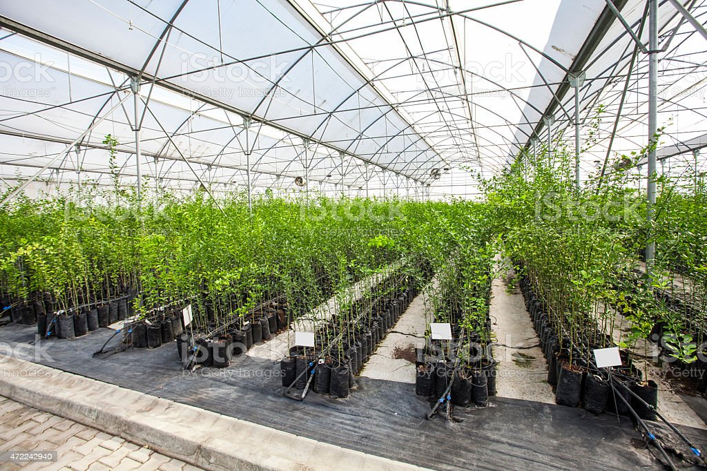 Large greenhouse with several rows of plants stock photo