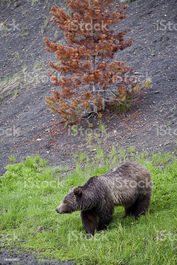 Large Grizzly Bear royalty-free stock photo
