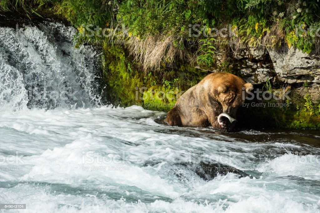 Large grizzly with fresh caught Alaskan salmon stock photo