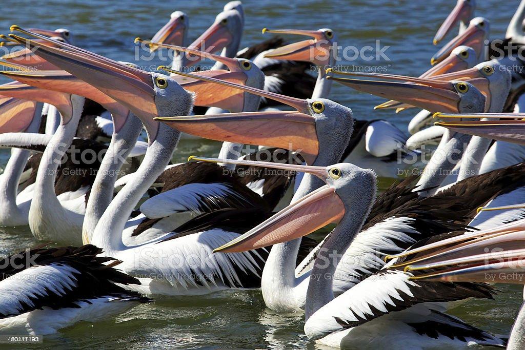 Large group of Australian Pelicans feeding stock photo