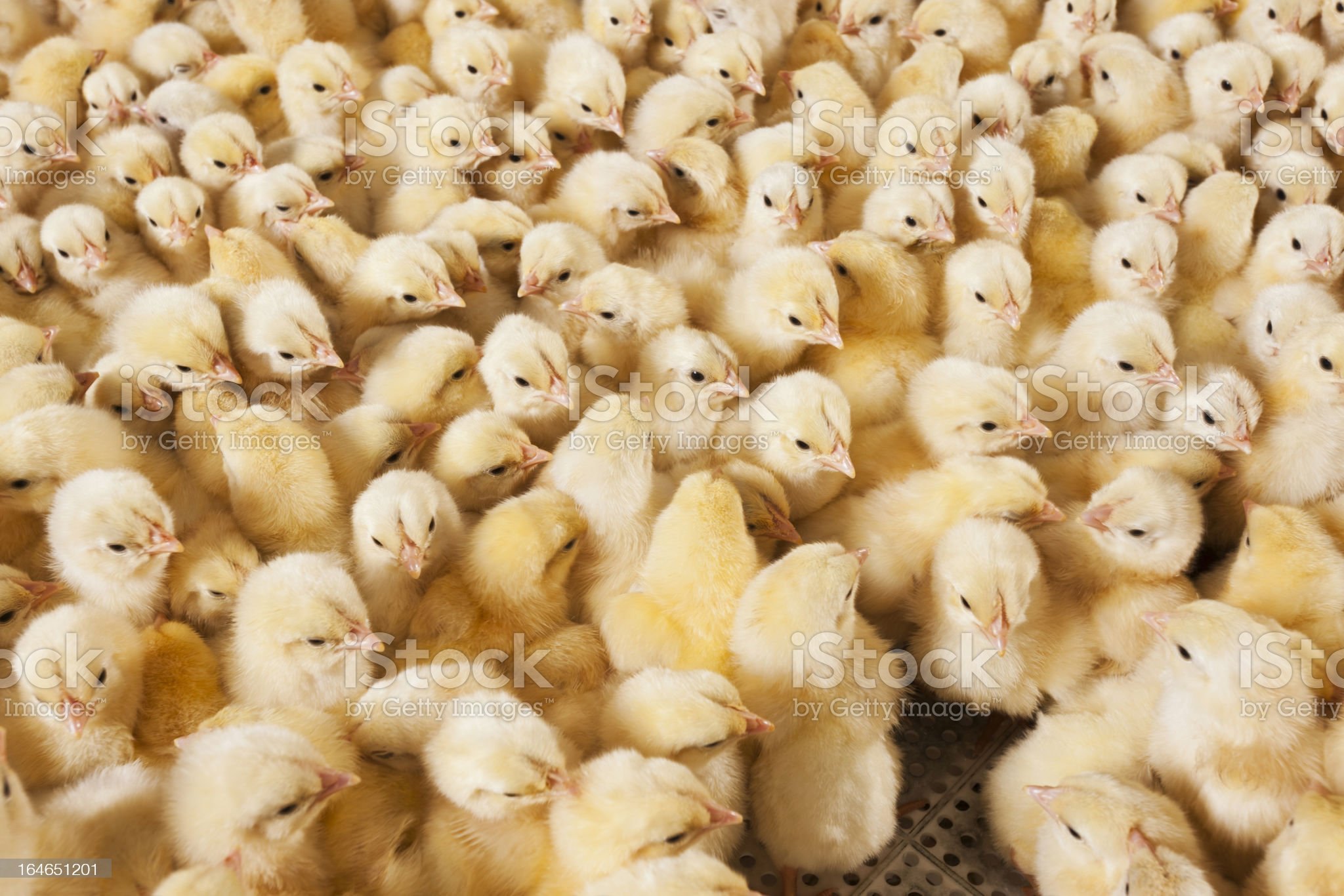 A large group of baby chicks on a chicken farm royalty-free stock photo