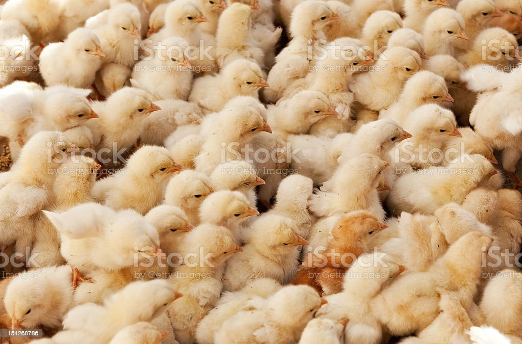 Large Group of Baby Chicks royalty-free stock photo
