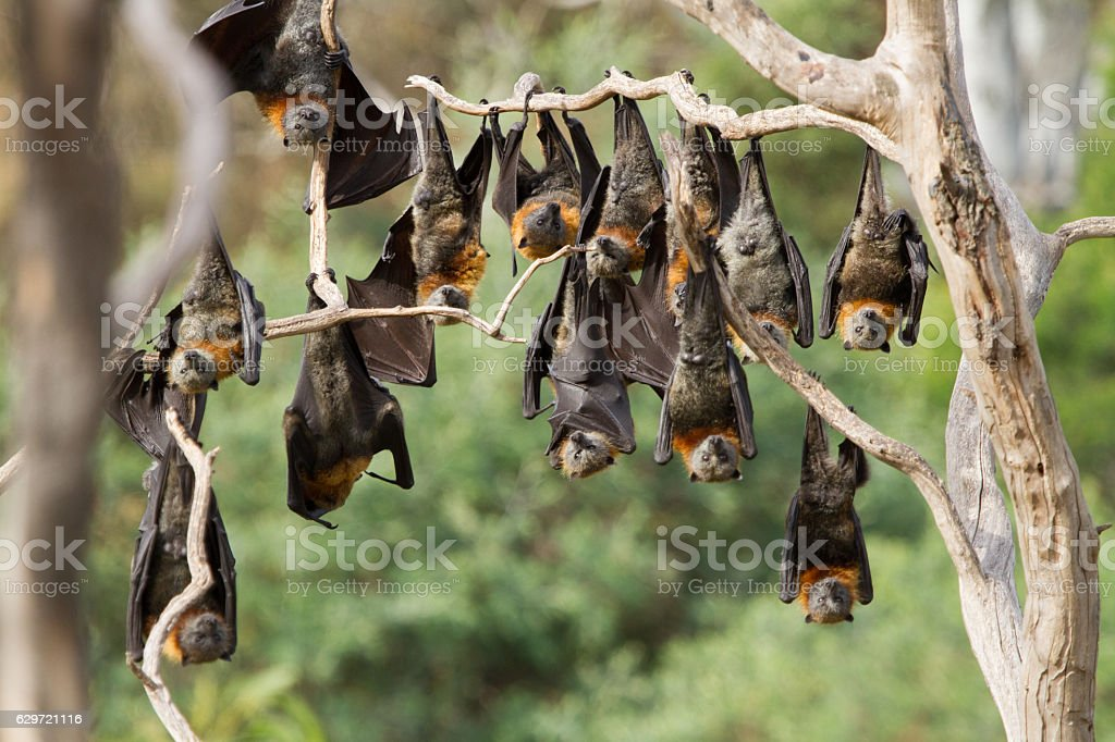 Large Group of Bats Hanging stock photo