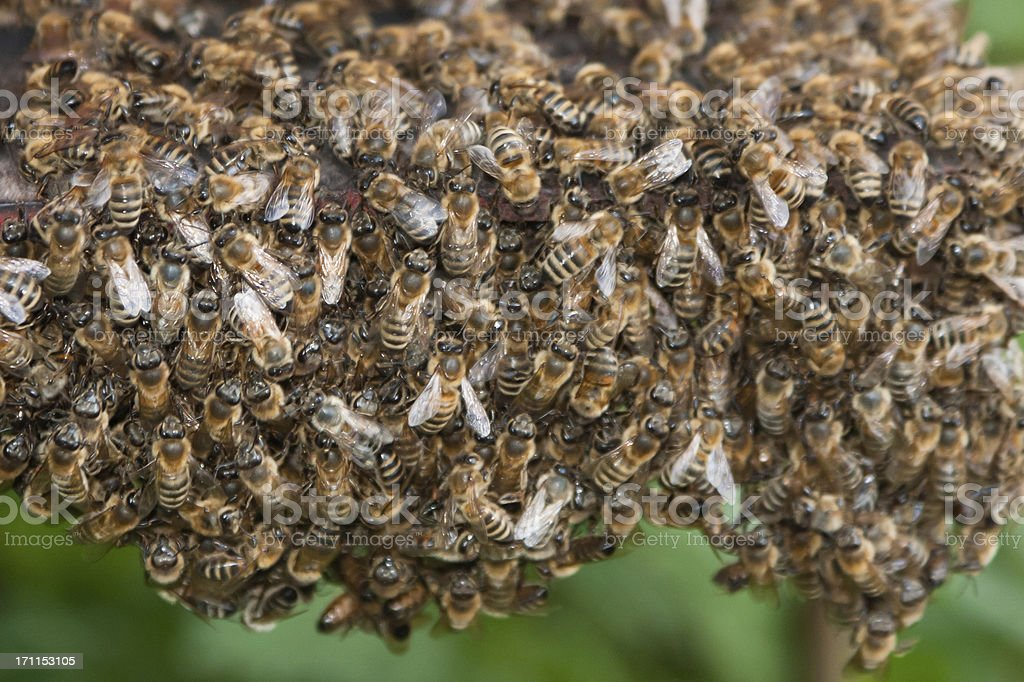 Large group of bee royalty-free stock photo
