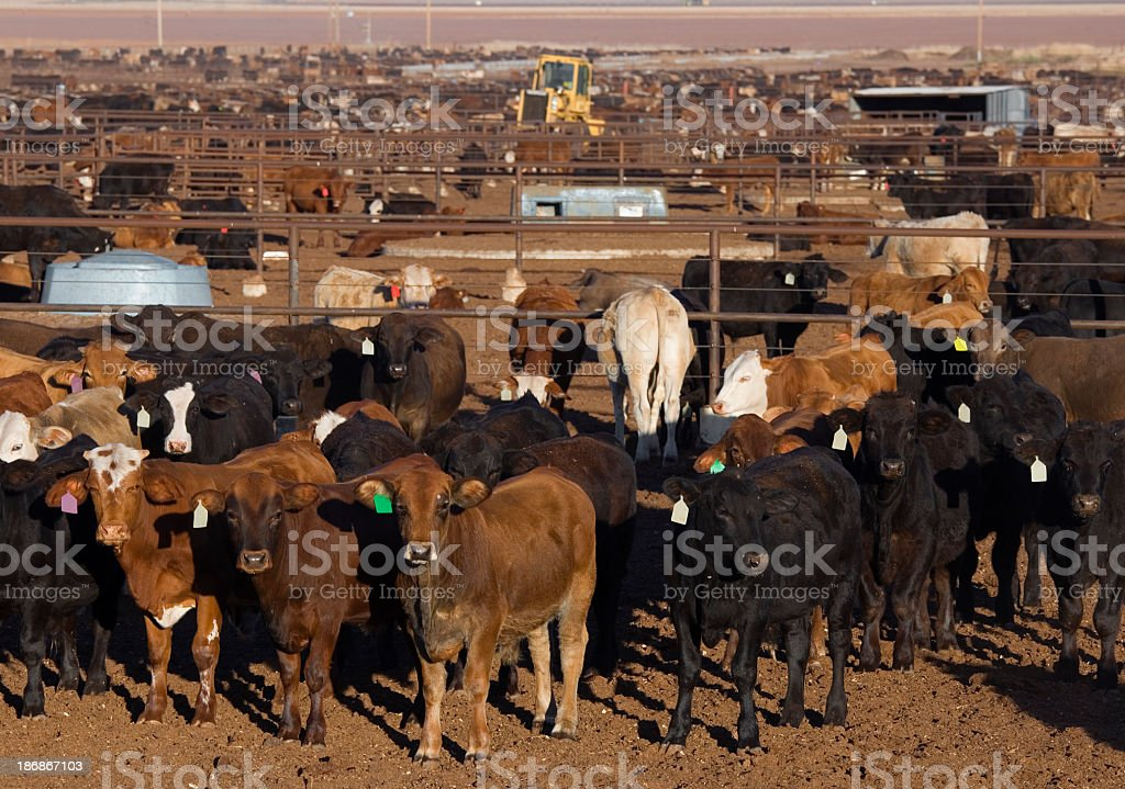 Large group of cattle waiting to be fed royalty-free stock photo