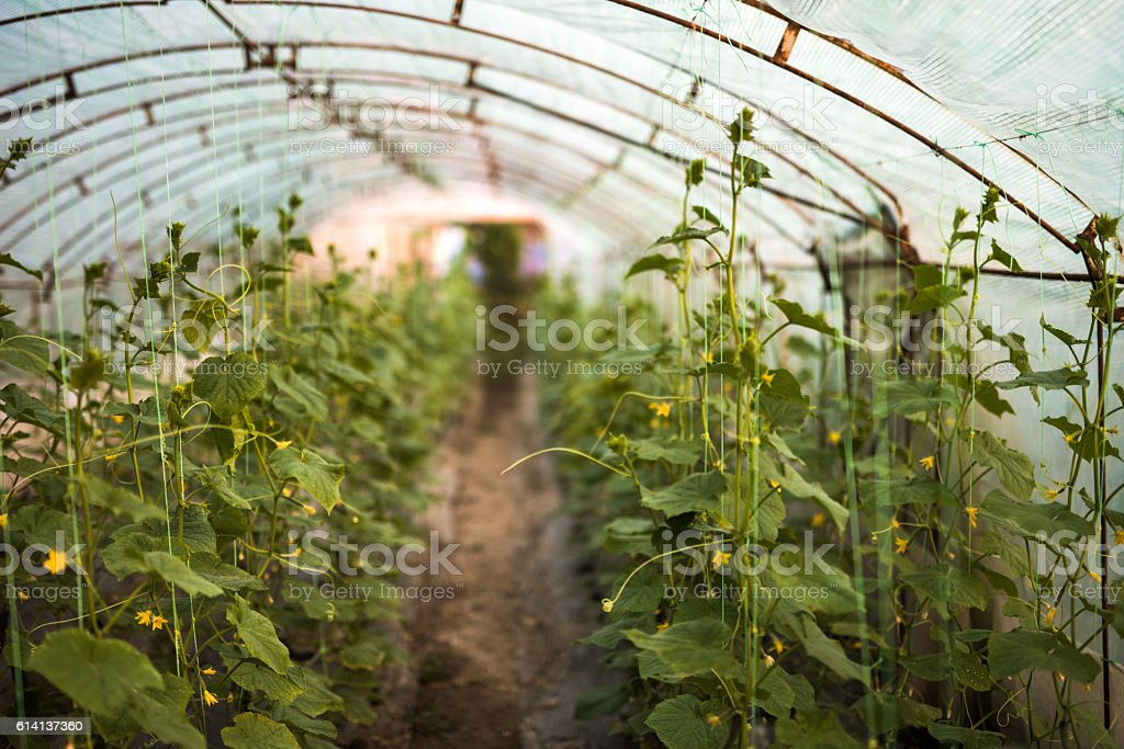 Large group of cucumber plant in polyethylene tunnel. stock photo